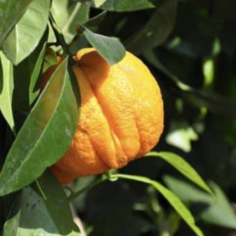 Óleo de laranja da terra (amarga) ajuda a tratar úlcera e gastrite