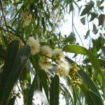 Conheça os efeitos do eucalipto